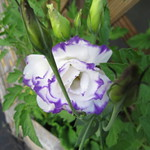 purplr flower 7 6 18 thumbnail