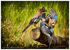 3 is a crowd (awardphotography73) Tags: wildbirds colours nature cardiff forestfarm ukbirds jays