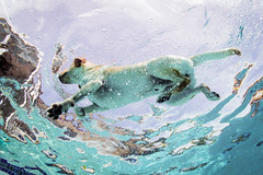 Dog Days (Fifinator) Tags: bubbles clear paddle doggie swimming florida pool wideangle below underwater retriever labrador swim dog ikelite backyard summer time