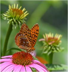 Great Spangled Fritillary (Summerside90) Tags: insects butterflies july summer backyard garden coneflowers nature wildlife ontario canada greatspangledfritillary