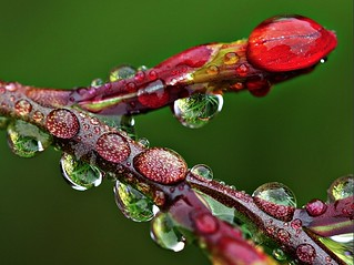 Crocosmia budding branch after rain