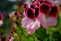 Geranium (jpto_55) Tags: geranium fleur proxi xe1 fuji fujifilm fujixf1855mmf284r amalfi italie