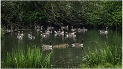 Canada and Greylag goose family (Luc V. de Zeeuw) Tags: canadagoose chick goose greylag greylaggoose hoekschewaard oeverlanden water strijensas zuidholland netherlands