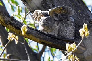 Eastern Screech-Owl - Petit-duc maculé - Megascops asio (D72_4110-1PE-20180511)