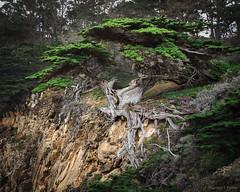 Venerable (zpeckler) Tags: allanmemorialgrove california carmel carmelbythesea cupressusmacrocarpa monterey montereycypress oldveterantree pointlobos pointlobosstatenaturalreserve cypress