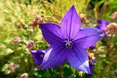 Platycodon grandiflorus (ZdenHer) Tags: platycodon grandiflorus flower purple macro garden canonpowershotg7xmarkii