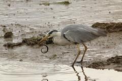 IMG_0744 (monika.carrie) Tags: monikacarrie wildlife scotland bullersofbuchan greyheron