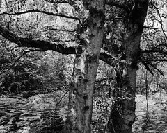 Twins Revisited (Hyons Wood) (Jonathan Carr) Tags: ancientwoodland rural northeast black white bw monochrome landscape 4x5 5x4 largeformat
