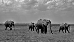 The elephant walk (Kaïyah) Tags: elephants mammal endangered conservation nationalpark amboseli kenya africa blackwhite monochrome sky clouds