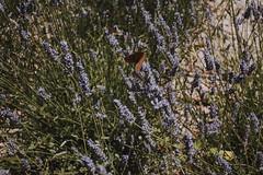 Hey there, you beautiful little animal (Leetiglez) Tags: butterfly mariposa nature naturaleza animal fauna marvao castelo castillo castle portugal plants plant planta