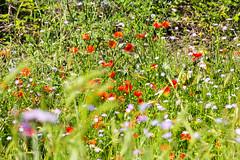Coquelicots (hubertguyon) Tags: italie italia italy europe europa via appia voie way apienne apian fleurs flowers coquelicot poppy