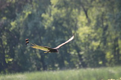img_100-3660 (Mark Eichin) Tags: greatmeadowsnationalwildliferefuge turkeyvulture concord feathers attack massachusetts redwingedblackbird