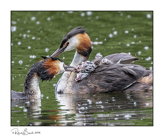 Father Grebe feeds fish to chicks on Mother's back