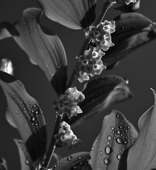 harmony (RJS_Photo) Tags: blackandwhite blumen blooms blossom buds flowers fineart floral abstract sunlight raindrops rain