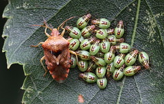 big family (bugman11) Tags: gewonekielwants shieldbug elasmuchagrisea bug bugs insect insects fauna canon 100mm28lmacro animal animals nature macro thenetherlands leaf leaves nederland amsterdamsewaterleidingduinen zandvoort