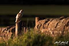 Evening Falls (birdtracker) Tags: barn owl bird prey
