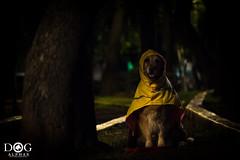 """Por si llueve"" (Dog Alphas) Tags: nikond7200 lentenikonnikkorafs105mm128gedvrmicro rawquality dogalphas fotografíademascota petphotography goldenretriever perro dog impermeable raincoat lluvia rain parque park cute agendatusesión"
