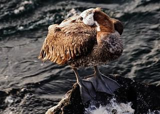 Brown Pelican - San Cristobal Island (Pelecanus occidentalis)