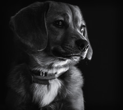 Sweet Baby (Southern Darlin') Tags: photography photo portrait pet pets puppy pup dog corgipom bestfreind bw blackandwhite bnw canon animal mono black white love