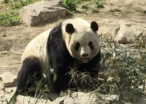 Panda Bear, Beijing Zoo
