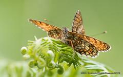 Heath Fritillary (snapp3r) Tags: butterfly haddonhill heathfrittillary
