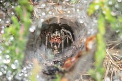 Do You Mind,Im On A Lunch Break (Mark Wasteney) Tags: happywebwednesday hww spider arachnid web cobweb food lunch bokeh closeup