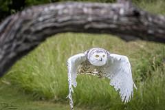 Framed Snowy Owl (Don Cortell) Tags: 2018 avian birds birdsofprey buboscandiacus owl raptors snowyowl animals feathers flight nature white wings grass trees tree trunk meadow
