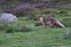 Zorro Común (JuanFuGa) Tags: zorro mamiferos montaña palencia palentina españa teleobjetivo canon 400 100d naturaleza fauna