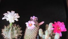 gymnocalycium anisitsii, mammillaria sheldonii, chamaecereus hybrid Violet (magnitferro) Tags: cactus flower gymnocalycium anisitsii mammillaria sheldonii chamaecereus hybrid violet