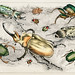 Collection of various beetles from A history of the earth and animated nature (1820) by Oliver Goldsmith (1730-1774). Digitally enhanced from our own original edition.