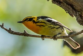 Blackburnian Warbler [Setophaga fusca]