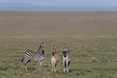 Young Zebra (Hector16) Tags: namiriplains eastafrica tanzania serengeti wildlife nature shinyangaregion tz