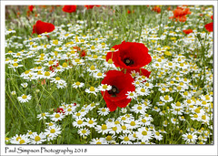 Poppies and Daisies (Paul Simpson Photography) Tags: england poppies poppy sonya77 sonyphotography paulsimpsonphotography imagesof imageof photoof photosof red flowers flower daisy daisies whiteflowers meadow summerflowers flowering naturalworld fields farming farmland countryside petals june2018