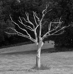 Lightning Tree, Mytholmroyd... (shushphoto) Tags: landscape luddendenfoot monochrome blackwhite blackandwhite contrast nature