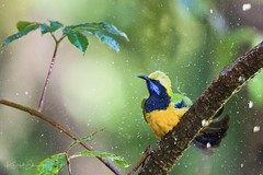 Orange-bellied leafbird (Chloropsis hardwickii) 橙腹叶鹎  chéng fù yè bēi (China (Jiangsu Taizhou)) Tags: nikon d5 800mm f56 vr afsnikkor800mmf56eflvr birds 2018 china birdsofchina birdsofyunnan yunnan gaoligongshan gaoligongshannaturereserve tengchong forest park nature naturereserve mountainforest wildlife birding forestpark orangebelliedleafbird chloropsishardwickii 橙腹叶鹎 chéngfùyèbēi ngc nationalgeographic birdwatching birdwatcher