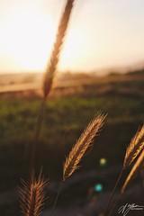 Başak / Spike (Abdullah*Yilmaz) Tags: günbatımı sunsine anadolu fotoğraflar photography vscocam vsco naturel ilgın canon100d canon konya spike başak