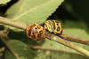 Sphaerocoris annulus ♀ ♂ (Picasso Bug) - Entebbe, Uganda (Nick Dean1) Tags: sphaerocorisannulus bug picassobug animalia arthropoda arthropod hexapoda hexapod insect insecta hemiptera pentatomidae scutelleridae uganda entebbe lakevictoria