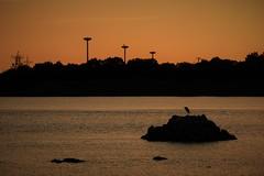 One bird at dusk (Sat Sue) Tags: gx7m2 gx80 gx85 japan fukuoka najima bird