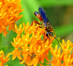 Take Me To Your Nectar (Eat With Your Eyez) Tags: bee flower bloom wild wildflower bog wing winged wings insect orange macro panasonicfz1000 fz1000 panasonic