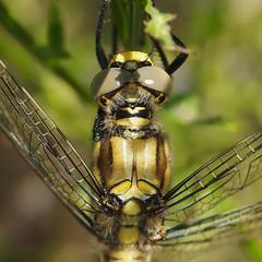 Orthetrum Cancellatum - 35mm Macro (Visual Stripes) Tags: dragonfly odonata insect invertebrate eyes compoundeye closeup 35mmmacro mzuiko olympus olympusepm1 microfourthirds mft m43 handheld macro