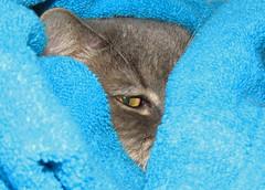 Furry Büsiness (evil king) Tags: katze kitten kätzchen kitty büsi fun fluffy flauschig cat chat gato britishshorthair cute soft pussy pussycat