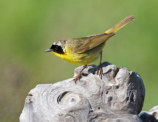 Common yellowthroat warbler, male