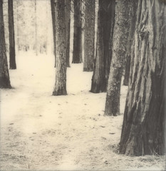 forest (lawatt) Tags: tree trunks forest pines yosemite silver film polaroid 600 bw slr680
