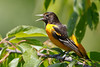 Baltimore Oriole Male_53F0678 (~ Michaela Sagatova ~) Tags: dundasvalley baltimoreoriole birdphotography canonphotography michaelasagatova oriole