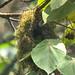 Grauer's Broadbill nest near Mubwindi Swamp