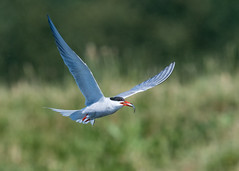Common Tern ( Sterna hirundo ) (Dale Ayres) Tags: common tern sterna hirundo bird nature wildlife fish