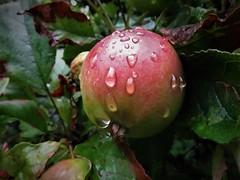 Raindrops surrounding the apple. (vidaficko) Tags: raindrops apple fruit rain summer plant nature