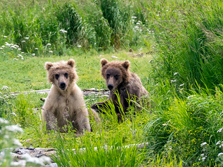 Медвежата Гризли