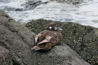 Harlequin Duck, Keystone Spit, Whidbey Island, WA 7/9/18
