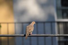 Mourning Dove (David.Sankey) Tags: dove mourningdove bird birding queens nyc urbanbirding